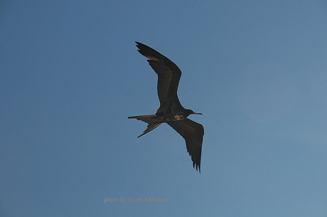 flying frigate bird - image 2