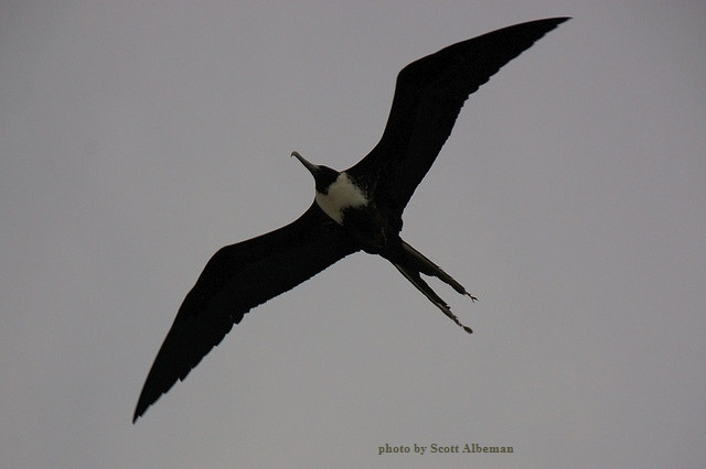 frigate bird flying - image four
